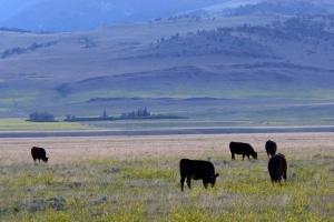 ffl-cow-field.jpg
